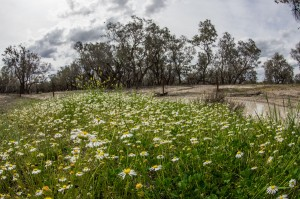 daisies at the billabong